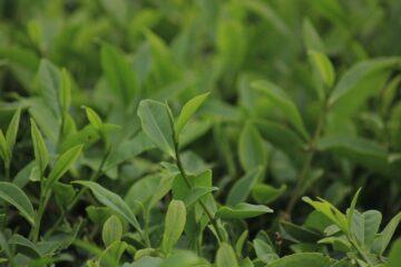 green tea leaf garden